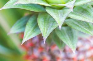 Pineapple leaves photo