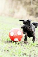 miniature schnauzer puppy dog ball photo