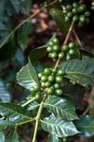 granos de café verde en una rama de guatemala foto