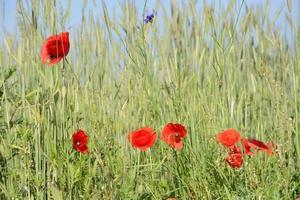 paysage rural - coquelicots rouges