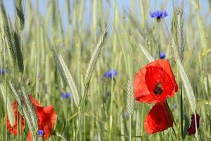 Rural landscape - red poppies photo