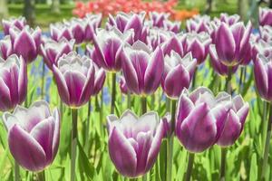 Group purple tulips. Spring landscape.