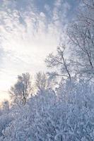 abedul de invierno foto