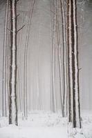 Winter coniferous forest. photo