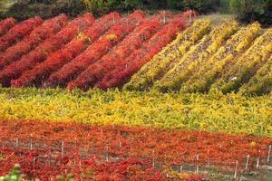 Rows of vineyard in autumn