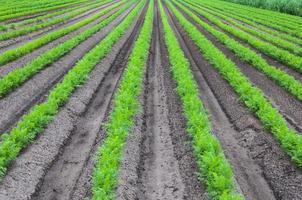 hileras convergentes de plantas jóvenes de zanahoria foto