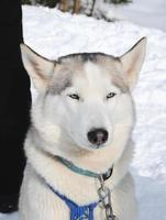 husky in de winter