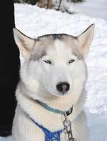 Husky in winter photo