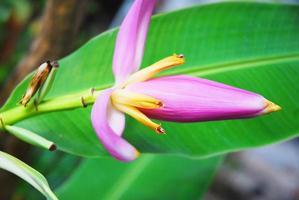 Flower of banana wild