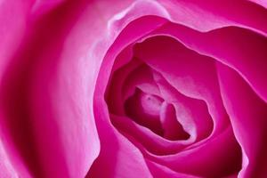 Pink rose macro closeup photograph symbolic of love and compassion photo