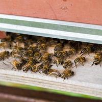 Honey bees swarming and flying around their beehive photo