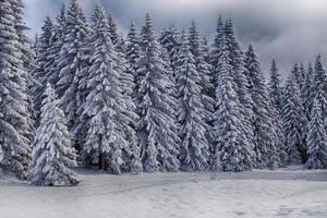 sapins enneigés-Savoie photo