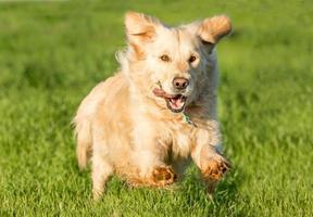 Golden Retriever Running photo