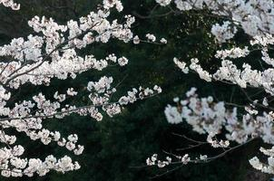 Sakura blossom on branches in the park, Japan photo