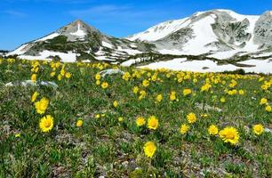 Alpine meadow with wild flowers in Snowy Range Mountains photo