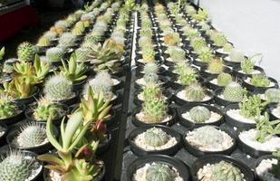 cactus en macetas colocadas juntas. foto