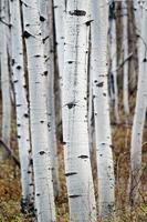 troncos de álamo temblón