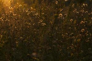 meadow in sunset