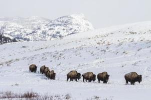 rebaño de bisontes en camino nevado