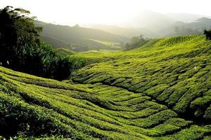 Tea Plantation Fields at Sunrise
