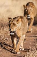 Two lionesses approach, walking straight towards the camera, in this