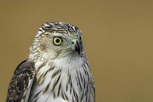 Portrait view of a Coopers Hawk