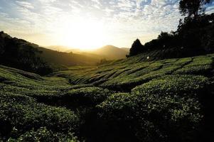 Tea Plantation Fields at Sunrise photo