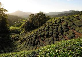 Tea Plantation Fields on the Hills