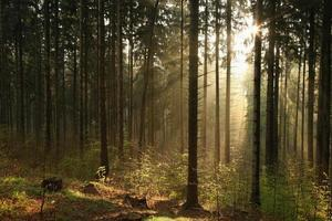 Misty coniferous forest at dawn photo