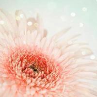 flores gerber foto