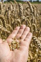 grano de trigo en mano contra espigas foto