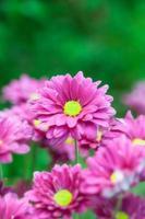 chrysanthemum bloemen