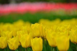 flores de tulipán foto