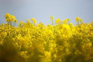 Rape Flowers photo
