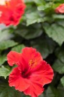 Hibiscus flowers photo