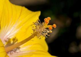 Flor Hibiscus foto