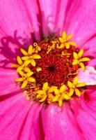 flores de zinnia foto