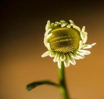 Camomile flower photo