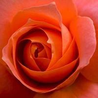 rosa de perto
