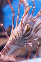 Close-up Lobster