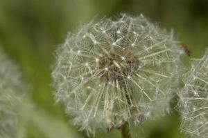 Dandelion close up photo