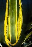 Agave close-up