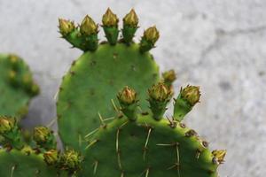 Cactus close up . photo