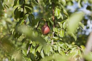 Summer, close-up pear