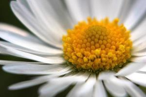 margarida close-up