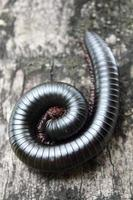 Millipede close up photo