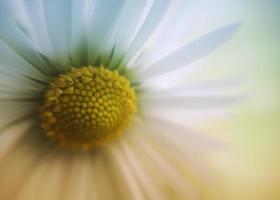 Daisy close-up photo