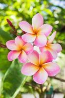 zoete roze bloem plumeria bos op aard