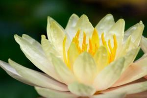Close up lotus
