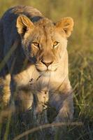 primer plano de la leona foto